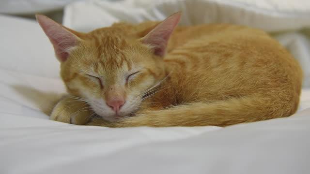 vídeos de stock e filmes b-roll de thai yellow cat sleep on cozy white bed - domesticado