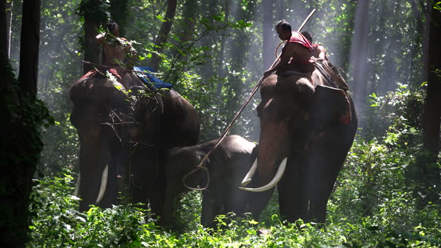 thai-catching wild elephants or the traditional - bamboo plant stock videos & royalty-free footage