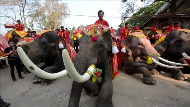 thailand celebrates national elephant day, aiming at raising public awareness about elephant conservation as the latest elephant census shows that... - elephant stock videos & royalty-free footage