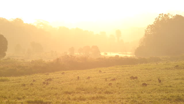 thailand grassland reserve on moring - deer family stock videos and b-roll footage