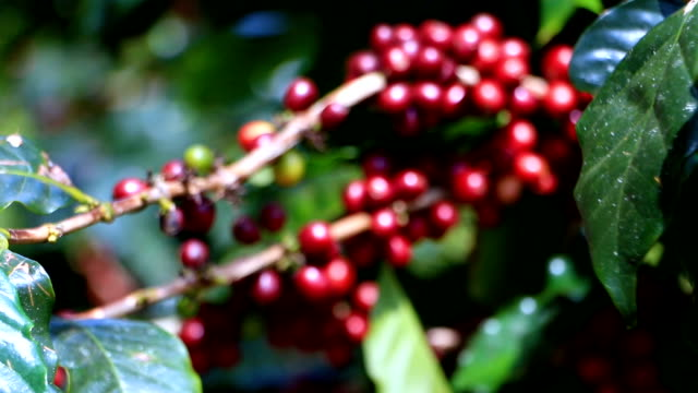 Thailand's coffee plantations are on high ground to get the best varieties in government projects.
