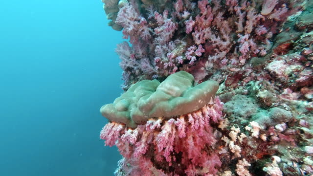 thailand's top dive site with underwater antler coral (pocillopora grandis) on colorful coral reef - antler stock videos & royalty-free footage