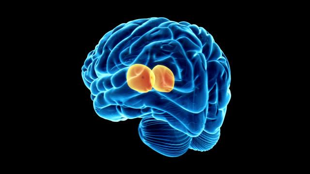 stockvideo's en b-roll-footage met thalamus in the human brain - thalamus