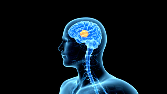 stockvideo's en b-roll-footage met thalamus of the brain - thalamus