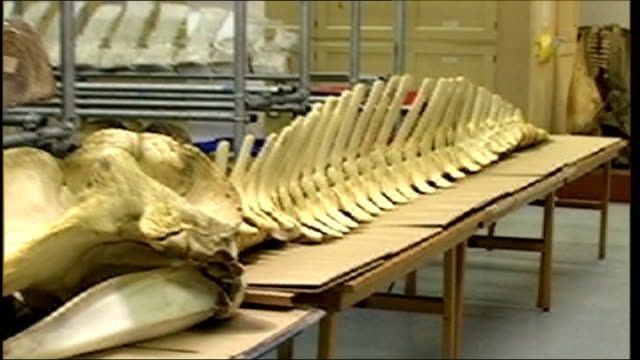 vídeos y material grabado en eventos de stock de natural history museum display natural history museum int whale skeleton laid out on table people gathered in darkened room for whale lecture - museo de historia natural museo