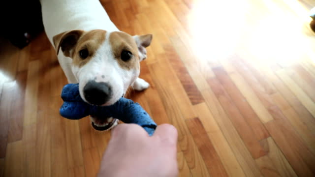 that's mine! - jack russell terrier stock videos & royalty-free footage