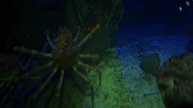 das ist eine gruselige spinnenkrabbe - tier in gefangenschaft stock-videos und b-roll-filmmaterial