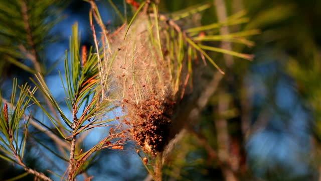 vídeos de stock e filmes b-roll de thaumetopoea pityocampa nest - pinaceae