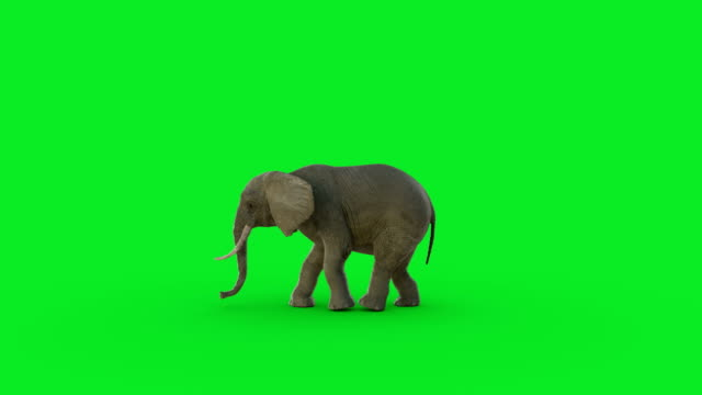 the 3d elephant animation on green screen and hyper realistic render - elephant stock videos & royalty-free footage