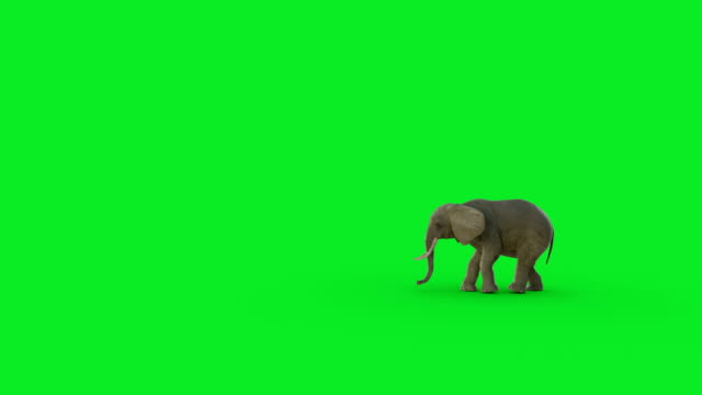 the 3d elephant walk animation on green screen and hyper realistic render - endangered species stock videos & royalty-free footage