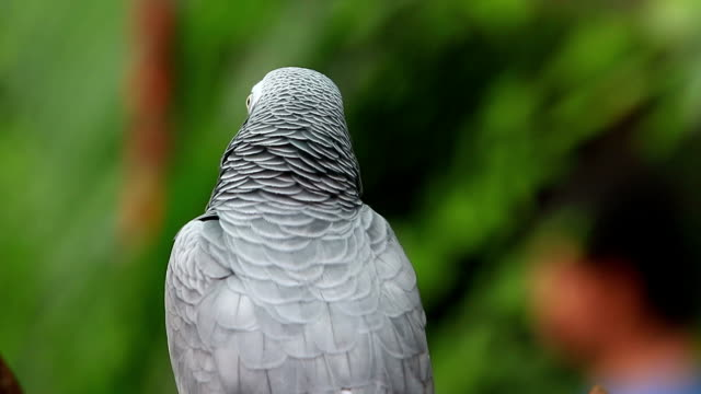 the african grey parrot (psittacus erithacus) - grey colour stock videos & royalty-free footage