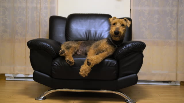 vídeos de stock e filmes b-roll de the airedale terrier dog sleeping in the chair - sofá