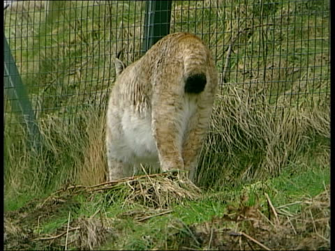 general views of countryside and animals; lynx walking through grass in enclosure / lynx prowling along by fence - enclosure stock videos & royalty-free footage