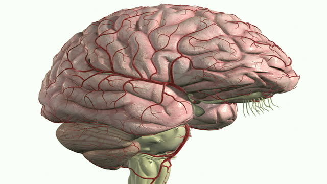 the arteries of the brain - cerebral artery stock videos & royalty-free footage