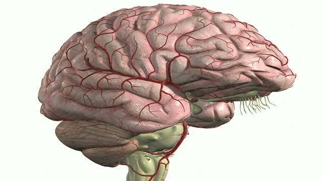vídeos de stock, filmes e b-roll de the arteries of the brain - artéria humana