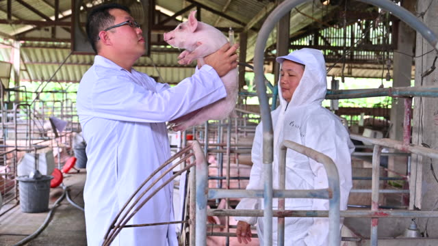 The Asian Veterinarians is examining the health and injection of piggy from pig pen. Pig Farm
