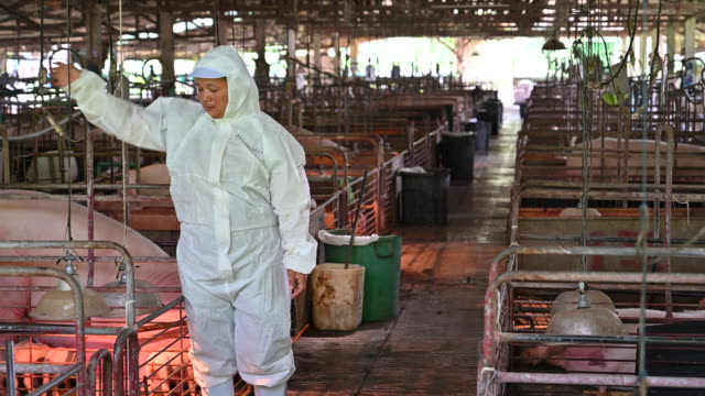 the asian veterinarians is examining the health and injection of piggy from pig pen. pig farm - injection pen stock videos and b-roll footage