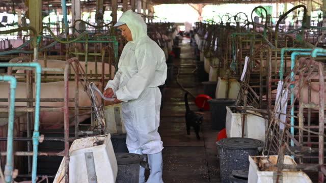 vidéos et rushes de les vétérinaires asiatique étudie la santé et l'injection de piggy de plume de porc. ferme d'élevage porcin - petit groupe d'animaux