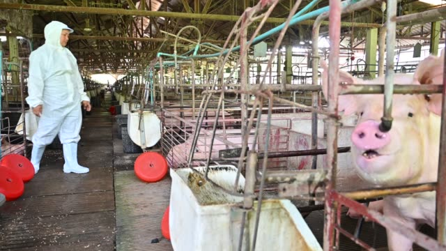 the asian veterinarians is examining the health and injection of piggy from pig pen. pig farm - one mature woman only stock videos & royalty-free footage