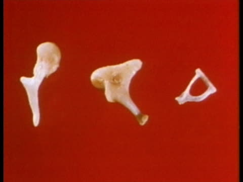 1969 ecu the auditory ossicles of the human ear/ usa/ audio - human ear stock videos and b-roll footage