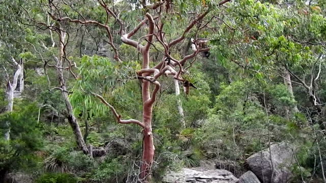 the australian bush and angophera tree,  pittwater - bush stock videos & royalty-free footage