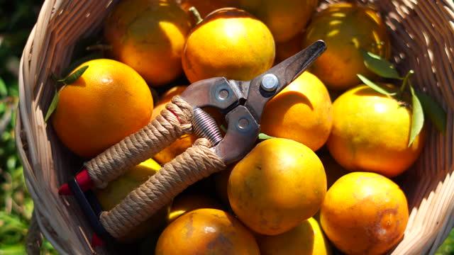 korgen som är full av färska apelsiner och saxar - vitamin c bildbanksvideor och videomaterial från bakom kulisserna