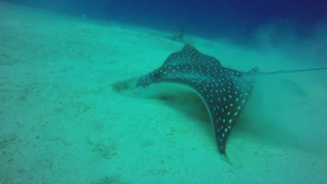 the beautiful black figure spotted with white is an enormous spotted eagle ray closing in on at least 12 feet across the ray glides through the water... - deep sea diving stock videos & royalty-free footage