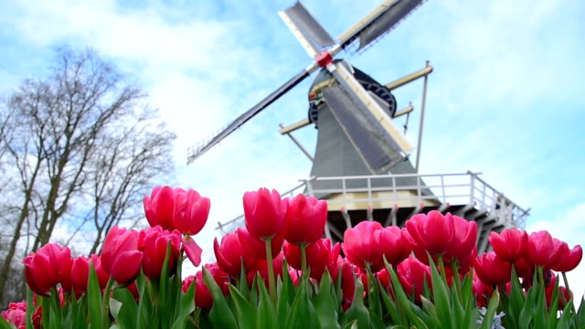 the beautiful flowers of the keukenhof - mill stock videos & royalty-free footage