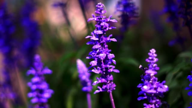 the beauty of lavender in the flower garden. - navy blue stock videos & royalty-free footage
