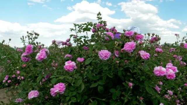 vidéos et rushes de la beauté de la rose bulgare. - rosée