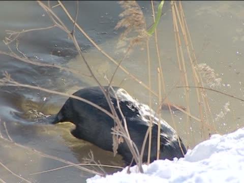 vídeos de stock, filmes e b-roll de o beaver desenvolve um dam. - dam