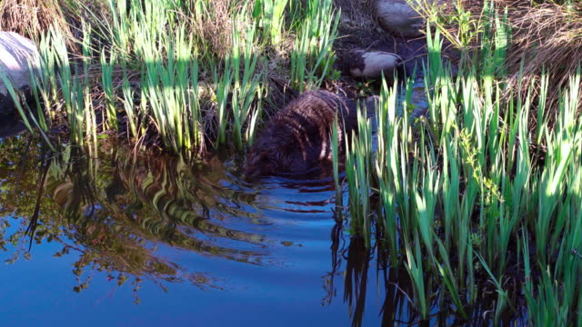 the beaver swimming in the lake in stanley park, vancouver, canada. - beaver stock videos & royalty-free footage