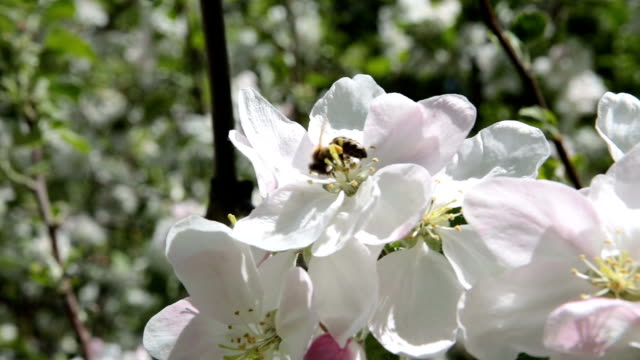 the bee pollinates the flowers of the apple tree. - pistil stock videos & royalty-free footage