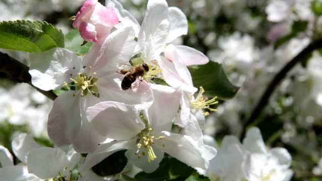 The bee pollinates the flowers of the apple tree.