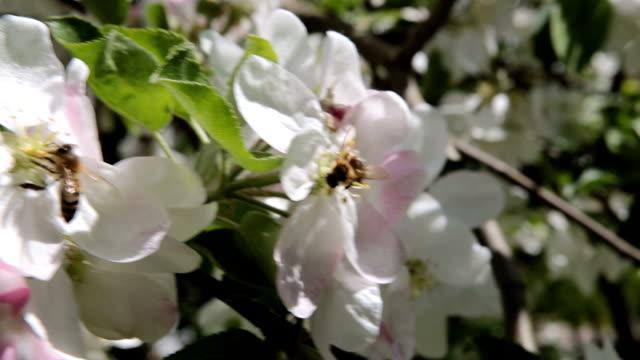 vídeos y material grabado en eventos de stock de la abeja poliniza las flores del manzano. - pistilo