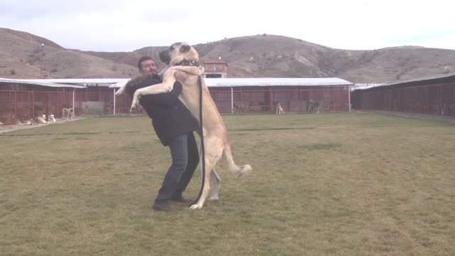The best herdprotecting dogs of the world Kangal Aksaray Malaklisi Anadolu bandog and Anadolu whitehead are all found in Turkey according to a...