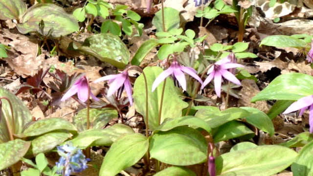 the best time to view fawn lilies has come to asahikawa on japan's northernmost main island of hokkaido. a 10-hectare hillside at the otokoyama... - asahikawa stock videos & royalty-free footage