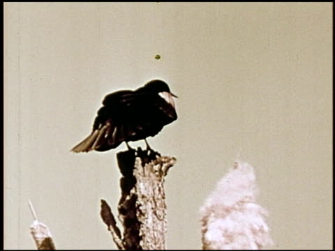 the biography of a redwinged blackbird - 2 of 10 - biography stock videos & royalty-free footage