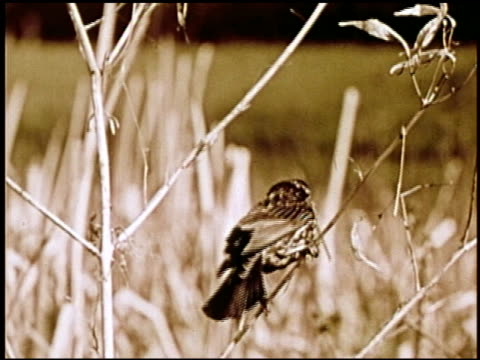 the biography of a redwinged blackbird - 4 of 10 - see other clips from this shoot 2448 stock videos & royalty-free footage