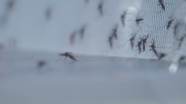 the biotech company oxitec is creating genetically modified mosquitoes resistant to zika dengue and other viruses to be released in urban areas of... - virus zika video stock e b–roll