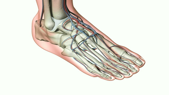 the blood vessels of the foot - artery stock videos & royalty-free footage