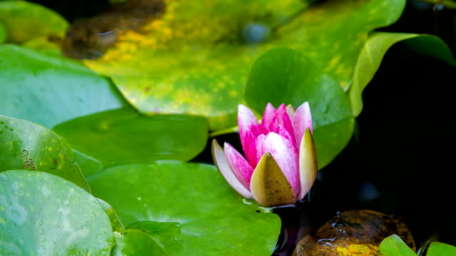 f/l the blooming of a water lily - lily stock videos & royalty-free footage