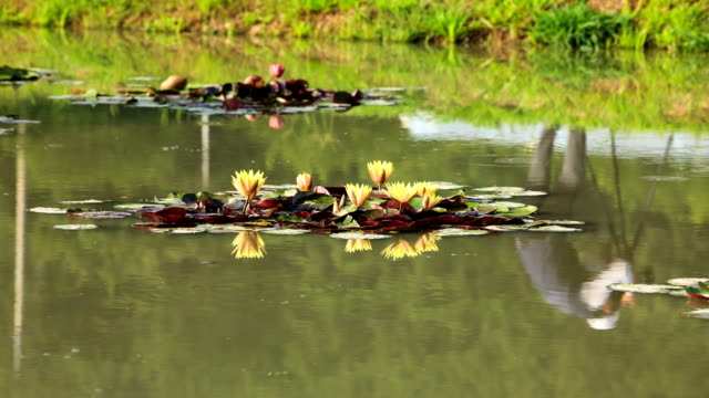 the blooming water lily on the pond in the park, siheung, gyeonggi-do province - kyonggi do province stock videos and b-roll footage