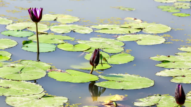 the blooming water lily with a dragonfly on the pond in the park, siheung, gyeonggi-do province - south korea stock videos & royalty-free footage