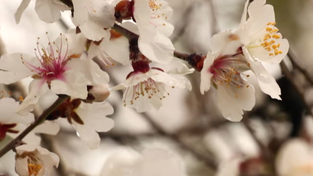 the blossoms of an almond tree wave in a gentle breeze. - almond stock videos & royalty-free footage