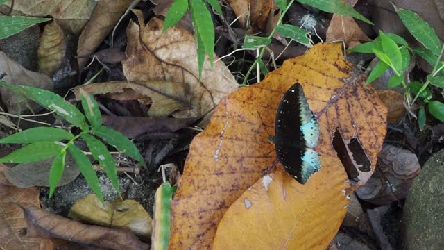 the blue baron butterflies - sharp stock videos & royalty-free footage