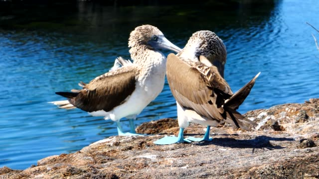 the blue-footed boobies during the mating season in galapagos islands - djurbeteende bildbanksvideor och videomaterial från bakom kulisserna