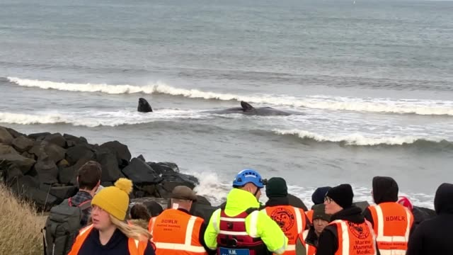 the body of a sperm whale washes up at newbigginbythesea in northumberland on friday afternoon it is believed that the young male which is estimated... - cetacea stock videos & royalty-free footage