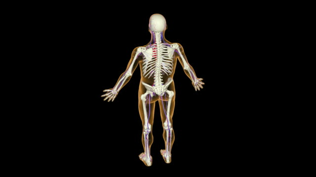 vídeos de stock, filmes e b-roll de the brachial artery - artéria humana