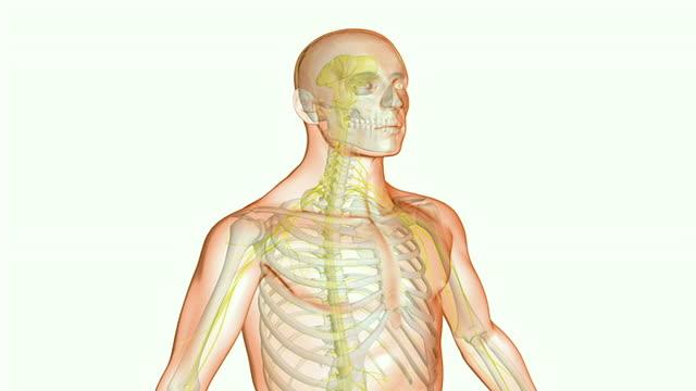 the brachial plexus - plexus brachialis stock-videos und b-roll-filmmaterial